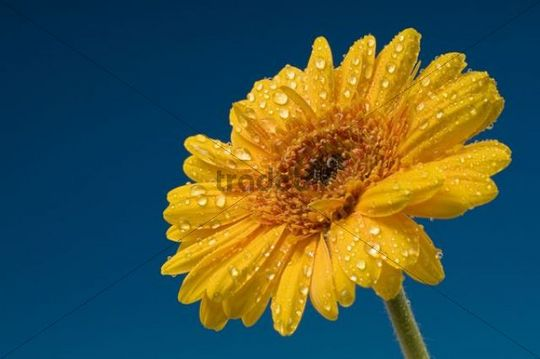 Gerbera Gerbera Blüte mit Wassertropfen