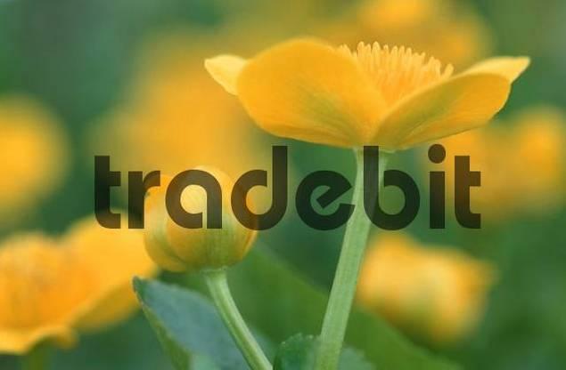 Marsh Marigold, Schleswig-Holstein, Germany / Caltha palustris
