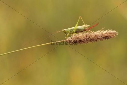 Long-winged Conehead (Conocephalus discolor), female