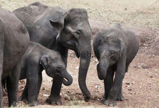 Asiatische Elefanten, Indischer Elefant (Elephas maximus), Rajiv Gandhi National Park, Nagarhole Nationalpark, Karnataka, Südindien, Indien, Südasien, Asien