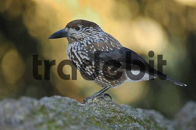 Spotted Nutcracker Nucifraga caryocatactes, Grisons, Switzerland